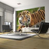Papier peint  Tigre de Sumatra