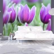 Papier peint  Tulipes violettes au printemps